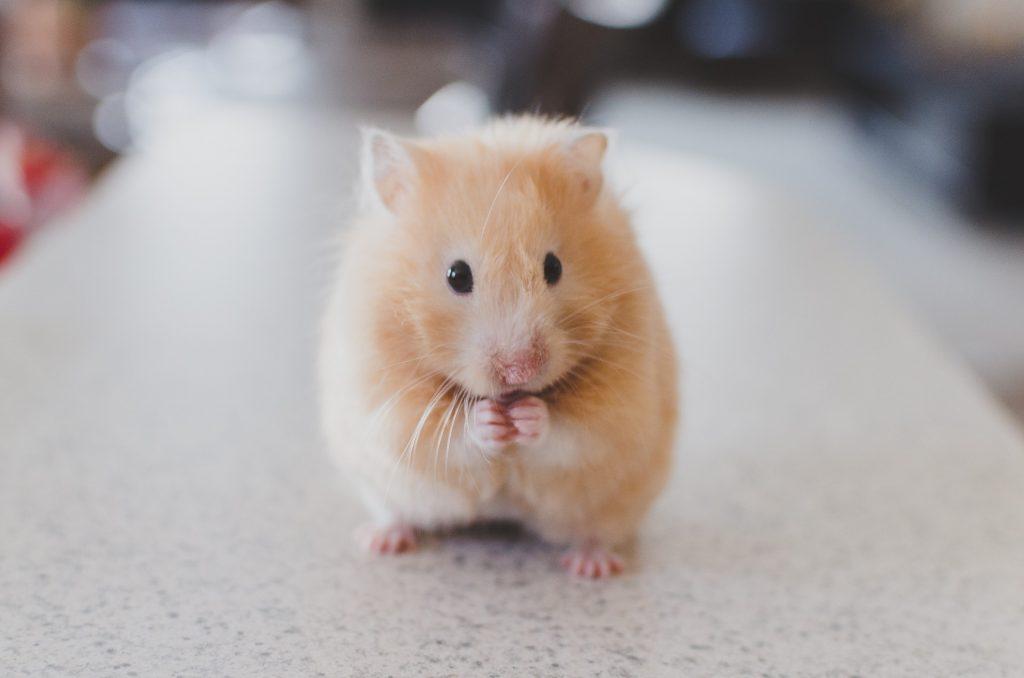 Keuzestress-hamsteren